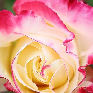 20 Dreamy Hydrangea Gardens That Are Giving Us Major Inspiration Double Delight Rose Hybrid Tea Roses Tea Roses