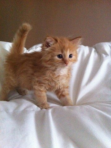 Cliff, the orange puffball - Cutest Paw Cute Baby Cats, Cute Little Animals, Cute Cats And Kittens, Cute Funny Animals, I Love Cats, Crazy Cats, Kittens Cutest, Cute Babies, Baby Dogs