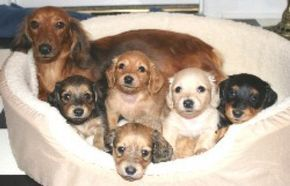 Frostdox Miniature Dachshunds Do I Have To Choose Just One Baby