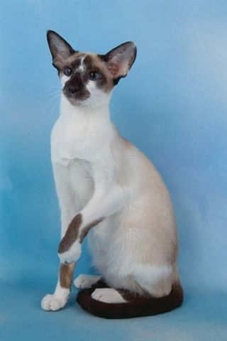 A Look At Siamese Cats Cats Siamese Cats Cute Cats