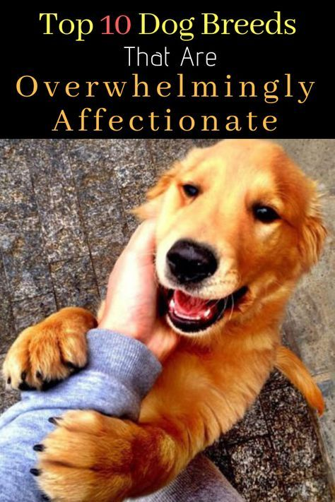 10 Dog Breeds That Are Overwhelmingly Affectionate Therapy Dogs Breeds Dog Breeds Best Dogs For Kids
