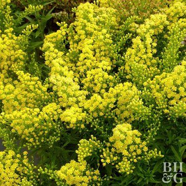 Goldenrod Goldenrod Family Garden Perennials