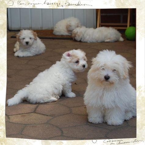 Aktuelles Little White Darling Coton de tulear und Hunde