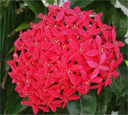 Ixora Ecarlate Ixora Coccinea Beautiful Flowers Red Flowers