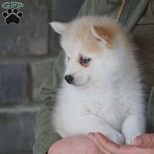 Mochi Pomsky Puppy For Sale In Ohio In 2020 Pomsky Puppies Pomsky Puppies For Sale Puppies For Sale