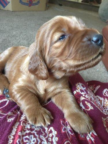 Irish Setter AKC Puppies For Sale | ksl com | Misc | Irish setter