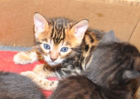 Bengal Kittens For Sale San Diego Bengal Kittens Ideas Of Bengal Kittens Bengalkittens Bengal Kittens For Bengal Kitten Bengal Kittens For Sale Kittens