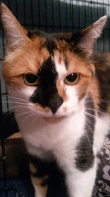Adopt Declawed Trixie On Pets Kitten Adoption Cute Cats