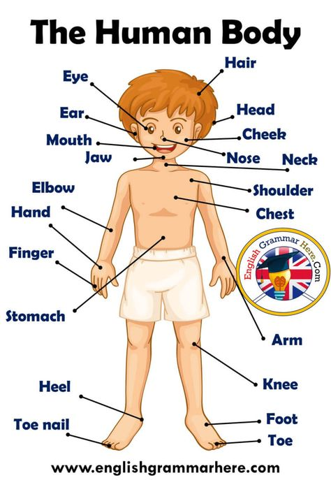 Parts of Human Body, Definition and Examples - English Grammar Here