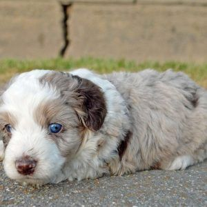 Miniature Aussiedoodle Puppies For Sale Greenfield Puppies Aussiedoodle Puppies Puppies For Sale