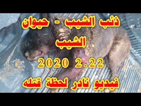 ذئب الشيب فيديو نادر اثناء قتله 2020 Youtube