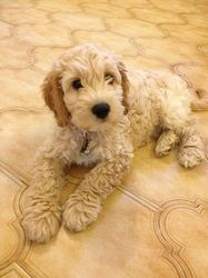 Cockapoo Puppy Photos The Cockapoo Club Of Gb Puppy Photos Cute Dogs And Puppies
