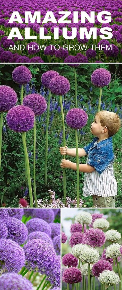 How to Grow Amazing Alliums Amazing Alliums! • Your tulips and daffodils may still get top billing in the spring, but make sure you tuck some alliums into your flower beds as well. Here is how to grow those amazing alliums! Growing Flowers, Cut Flowers, Planting Flowers, Flowers Garden, Flower Gardening, How To Plant Tulips, Allium Flowers, Garden Plants, Flower Garden Design