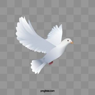 White Dove White Wing Pigeon Png Transparent Clipart Image And Psd File For Free Download Dove Pictures Black Background Images White Doves
