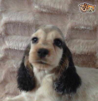 Show Type Kc Cocker Spaniel Puppies Ready Now Bourne Lincolnshire Pets4homes Englishcockerspaniel Spaniel Puppies Cocker Spaniel Puppies Puppies