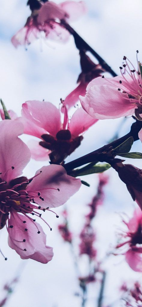 72 High Resolution Wallpapers For Your Shiny New Iphone X Iphone Wallpaper Ipho Flower Background Iphone Cherry Blossom Wallpaper Nature Backgrounds Iphone