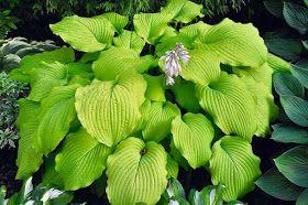 Wpuszczona W Maliny Szybko Latwo W Cieniu In 2020 Plant Leaves Plants Hostas