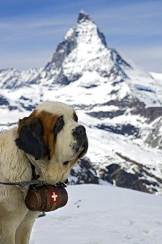 #St Bernard Dog - Matterhorn -...  Like,Repin,Share, Thanks!