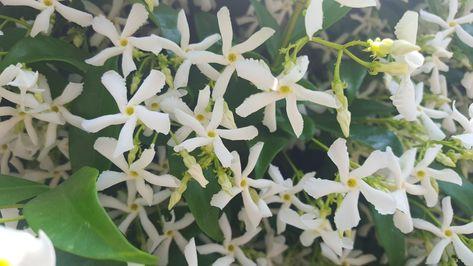 Pianta Con Fiori Bianchi.Profumo Di Gelsomini Fiori Bianchi Di Primavera White Flower