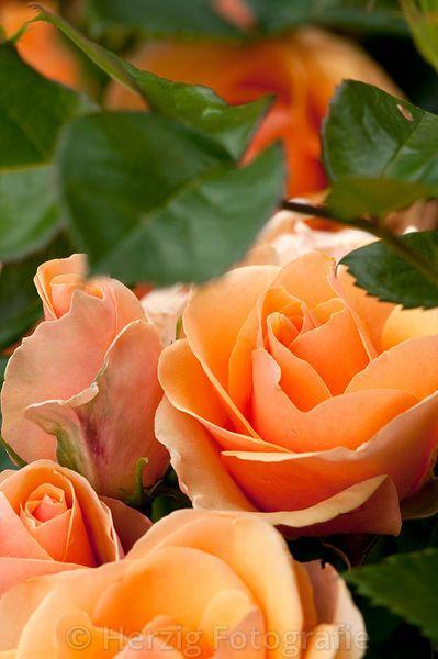 Rosa 'Olympic', Rose, Beetrose