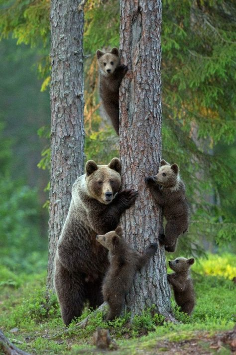 Grizzly Bear Family Climbing Tree (Art Prints, Wood & Metal Signs, Canvas, Tote Bag, Towel)