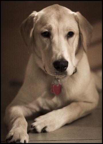 Labrador Eye Colour Mush Have Labradoressex Labradorpuppieshighlands Labradorbreedersessex Labrador Dog