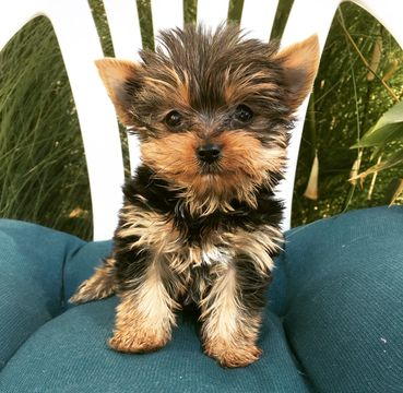 Yorkshire Terrier Puppy For Sale In Los Angeles Ca Adn 58622 On Puppyfinder Com Gender Female Age 9 We Yorkshire Terrier Puppies Puppies Yorkshire Terrier