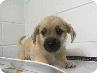 Houston Tx Border Terrier Mix Meet Liana A Puppy For Adoption