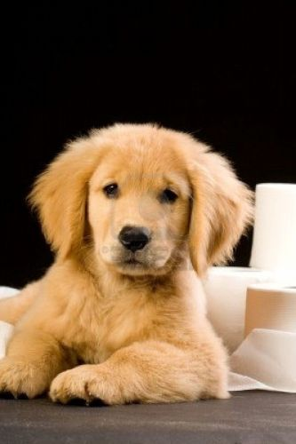 Cutest Golden Retriever Photos Sweet Golden Retriever Puppies