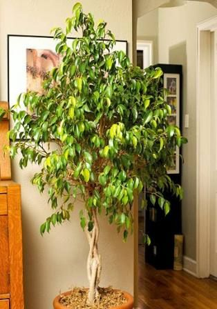 46 New Ideas For Plants Indoor Low Light Rubber Tree