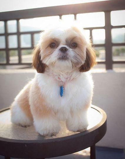 Shih Tzu Affectionate And Playful Shih Tzu Puppy Shitzu