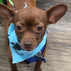 Pine Meadow Ct Chihuahua Meet Apollo A Pet For Adoption Pet
