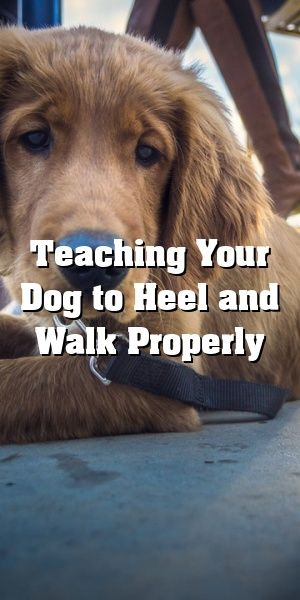 Teaching Your Dog To Heel And Walk Properly Clover Dogs Pet