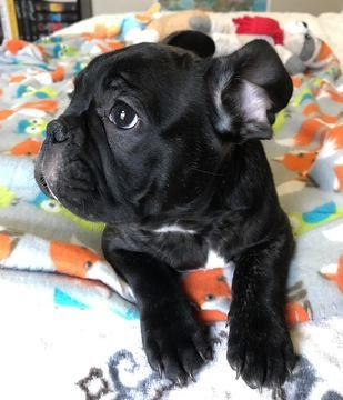 French Bulldog Puppy For Sale In Charleston Sc Adn 70846 On