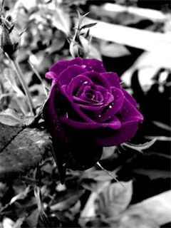 Purple rose Mobile Screensavers available for free download.