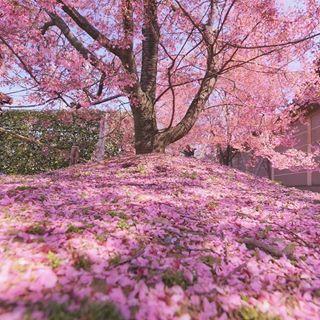 Location Kyoto Japan Amazing Nature Photography Japanese Cherry Blossom Cherry Blossom