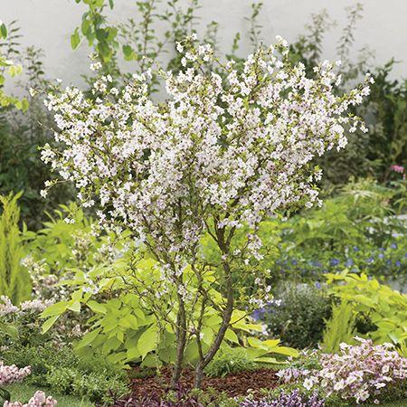 4ft Fuji Dwarf Cherry Blossom Tree 10l Pot Prunus Incisa Kojo No Mai 52 99 Blossom Trees Flowering Cherry Tree Cherry Blossom Tree