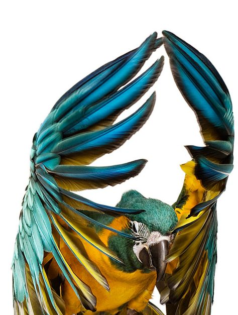 """My Blue and Gold, Caribe, has better wings than even these, the LONGEST tail I've ever seen on a blue. I have a tail feather 25 and 1/2 inches long!  I save the tail feathers.  Well, the wing feathers, the body feathers and the tiny little yellow underfeathers, too.  Have a Native American friend always hitting me up for """"more feathers!""""  He makes me stuff in return.  Works for me!"""