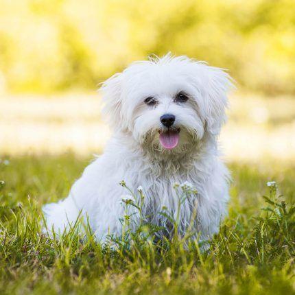 Havaneser Steckbrief Charakter Wesen Haltung Havaneser Havaneser Hund Hund Steckbrief