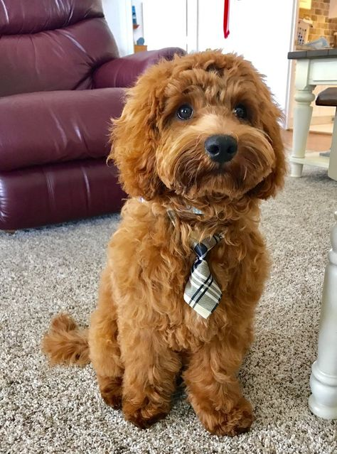 Latest Images dogs and puppies labradoodle Concepts  Do you adore your puppy? Naturally, you do. Right pet attention and education will guarantee your dog devote  #Concepts #dogs #Images #labradoodle #Latest #puppies
