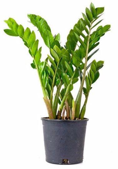 Rare ZZ Plant-Zamioculcas zamiifolia - House Plant - Bonsai