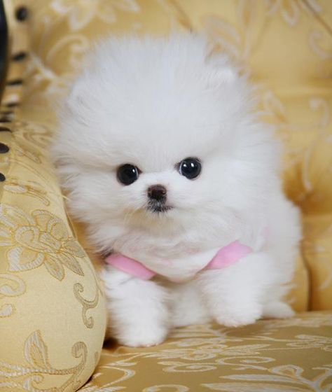 Teacup Pomeranian Puppies For Sale   SunShine TeaCup Puppies Home
