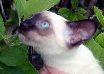 Siamese Cat Photo Gallery Suyaki Siamese Cattery Siamese Kittens For Sale In Florida Cat Breeds Siamese Siamese Kittens Siamese Cats