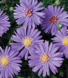 20 Common Plants Safe For Cats And Dogs Garden Design Fall Perennials Fall Flowers Garden Flower Garden Design