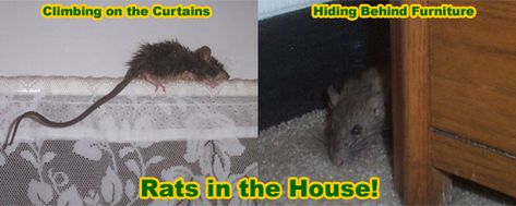 Pin By Teresa Kelley On Homemade Rat Poison In 2020 Rats How To Remove Rodent Control
