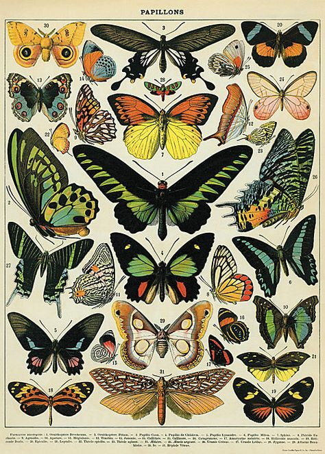 Старая картинка бабочек