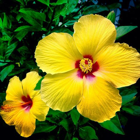 Fiori Hawaii.Bright Yellow Hibiscus Flower In Haiku Maui Hawaii