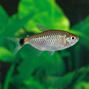 Tetra Red Eye Tetra Salt Water Fishing Fish Live Freshwater Fish
