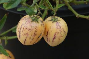 Pepino Dulce Melonenbirne Solanum Muricatumbei Bei Lubera Melonenbirne Pflanzen Stachelbeeren