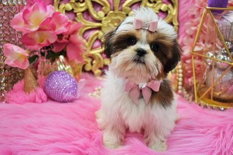 Shih Tzu Puppies Teacup Shih Tzu Shih Tzu For Sale Breeder Teacup Miniature Toy In 2020 Shih Tzu Puppy Shih Tzu For Sale Teacup Shih Tzu